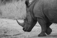 IMG_4512zw (Walt vd Hoeven) Tags: safari south africa afrika mpumalanga kruger manyeleti big five bigfive pungwe bush leopard zebra elephant lion bok buffalo