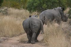 IMG_4507 (Walt vd Hoeven) Tags: safari south africa afrika mpumalanga kruger manyeleti big five bigfive pungwe bush leopard zebra elephant lion bok buffalo