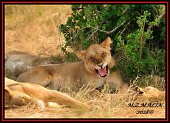FEMALE LIONESS (Panthera leo)....MASAI MARA......SEPT 2018. (M Z Malik) Tags: nikon d3x 200400mm14afs kenya africa safari wildlife masaimara keekoroklodge exoticafricanwildlife exoticafricancats flickrbigcats leo lioness ngc npc