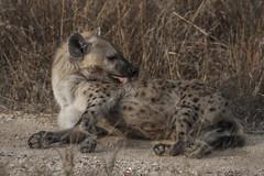 IMG_4428 (Walt vd Hoeven) Tags: safari south africa afrika mpumalanga kruger manyeleti big five bigfive pungwe bush leopard zebra elephant lion bok buffalo