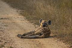 IMG_4416 (Walt vd Hoeven) Tags: safari south africa afrika mpumalanga kruger manyeleti big five bigfive pungwe bush leopard zebra elephant lion bok buffalo