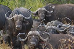 IMG_4253 (Walt vd Hoeven) Tags: safari south africa afrika mpumalanga kruger manyeleti big five bigfive pungwe bush leopard zebra elephant lion bok buffalo
