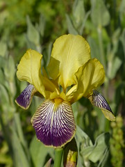 Iris (Marit Buelens) Tags: iris garden flower bloem fleur blume yellow green purple naturalbeauty