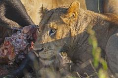 IMG_4052 (Walt vd Hoeven) Tags: safari south africa afrika mpumalanga kruger manyeleti big five bigfive pungwe bush leopard zebra elephant lion bok buffalo