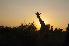 IMG_4725 (Walt vd Hoeven) Tags: safari south africa afrika mpumalanga kruger manyeleti big five bigfive pungwe bush leopard zebra elephant lion bok buffalo