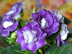 Indoor Gardening (Marit Buelens) Tags: flower houseplant potterplant plant bloem blume purple paars leaf gloxinia gloxiniadesfleuristes sinningia sinningiaspeciosa fleur