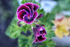 Pretty Geranium (crafty1tutu (Ann)) Tags: flower geranium pink purple pinkpurplegreen garden mygarden inmygarden pretty crafty1tutu canon7dmkii anncameron ef24105mmf4lisusm