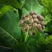 Common Milkweed buds -  Boutons d'Asclépiade de Syrie