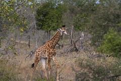 IMG_4548 (Walt vd Hoeven) Tags: safari south africa afrika mpumalanga kruger manyeleti big five bigfive pungwe bush leopard zebra elephant lion bok buffalo