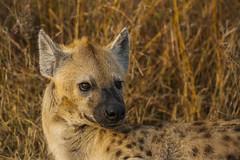 IMG_4424 (Walt vd Hoeven) Tags: safari south africa afrika mpumalanga kruger manyeleti big five bigfive pungwe bush leopard zebra elephant lion bok buffalo