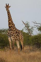 IMG_4343 (Walt vd Hoeven) Tags: safari south africa afrika mpumalanga kruger manyeleti big five bigfive pungwe bush leopard zebra elephant lion bok buffalo