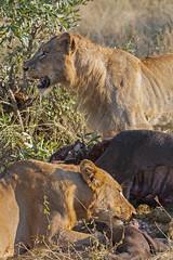 IMG_4100 (Walt vd Hoeven) Tags: safari south africa afrika mpumalanga kruger manyeleti big five bigfive pungwe bush leopard zebra elephant lion bok buffalo
