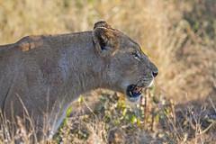 IMG_4068 (Walt vd Hoeven) Tags: safari south africa afrika mpumalanga kruger manyeleti big five bigfive pungwe bush leopard zebra elephant lion bok buffalo