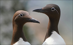 Guillemots (McRusty) Tags: wild sea birds sand eels lunga treshnish isles west coast highland scotland