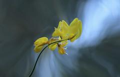 Wild Broom (pasquale di marzo) Tags: flower fiore ginestra selvatica montagna basilicata esterno colore macro