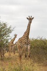 IMG_4846 (Walt vd Hoeven) Tags: safari south africa afrika mpumalanga kruger manyeleti big five bigfive pungwe bush leopard zebra elephant lion bok buffalo