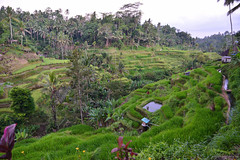 Tegallalang (mgphotography.uk) Tags: travel travelphotography traveller travelblog photography landscapephotography photographers bali indonesia ubud naturephotography nature ngc
