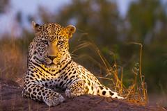 IMG_43771 (Walt vd Hoeven) Tags: safari south africa afrika mpumalanga kruger manyeleti big five bigfive pungwe bush leopard zebra elephant lion bok buffalo