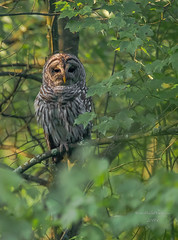 Barred Owl NJ (stephenwalshphoto) Tags:
