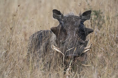 IMG_4811 (Walt vd Hoeven) Tags: safari south africa afrika mpumalanga kruger manyeleti big five bigfive pungwe bush leopard zebra elephant lion bok buffalo