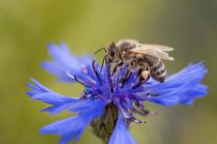 Bee (Sebo23) Tags: macro makro makrofotografie bokeh bokelisious biene bee insekt insect nature naturaufnahme natur nahaufnahme canon10028l canoneosr