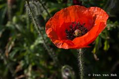 Poppy (Ivan van Nek) Tags: vathorst amersfoort thenetherlands klaproos poppy nikon nikond7200 wildflowers flower papaver red