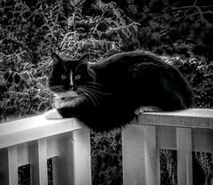 His Highness (Colormaniac too - Many thanks for your visits!) Tags: cat tuxedocat feline regalcat outdoors blackandwhite monochrome digitalpainting summer summertime july topazstudio netartll hss