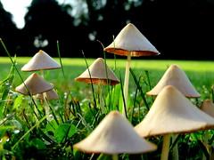 Mushrooms - Whitehouse Station, NJ (RSH3339) Tags: mushrooms morning whitehouse station nj readington grass