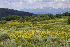 Balsamroot on the Uncompahgre (Jeff Mitton) Tags: balsamroot salsamorhizasagittata gambeloak uncompahgreplateau colorado landscape lasalmountains wildflowers mountains plateau earthnaturelife wondersofnature