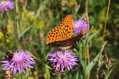 Argynnis 001 (Irmzaq photography) Tags: argynnis orangebutterfly butterfly butterflyphotography photography insectphotography naturephotography pärlemorfjäril nature