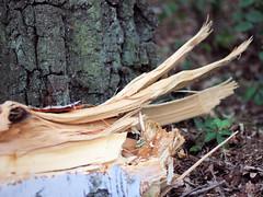 Birkenholz nach Sturmschaden (Netizen.art) Tags: birke holz wald sturmschaden
