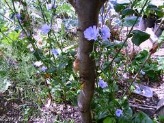 July 14th, 2019 Radicchio flowering and going to seed (karenblakeman) Tags: cavershamgarden caversham uk radicchio flowers 2019 july reading berkshire 2019pad