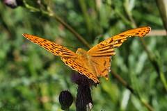 Argynnis 003 (Irmzaq photography) Tags: argynnis orangebutterfly butterfly butterflyphotography photography insectphotography naturephotography pärlemorfjäril nature