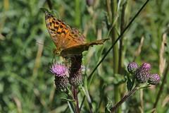 Argynnis 002 (Irmzaq photography) Tags: argynnis orangebutterfly butterfly butterflyphotography photography insectphotography naturephotography pärlemorfjäril nature