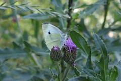 Pieris brassicae (Irmzaq photography) Tags: butterfly pierisbrassicae whitebutterfly cabbagebutterfly butterflyphotography photography insectphotography insect nature naturephotography kålfjäril