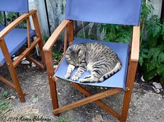 July 16th, 2019 Gardening is so tiring! (karenblakeman) Tags: cavershamgarden caversham uk cat tabby willow meowmau chairs blue 2019 july reading berkshire 2019pad
