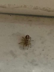 "A ""never seen before"" spider (is there anybody who knows this?) (Lina (Prema) Polmonari) Tags: ragno spider insect insetto morto dead"