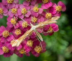 Yarrow Plume Moth - Gillmeria pallidactyla (andrewkirby255) Tags: moth plumemoth yarrowplumemoth stokeabbott dorset