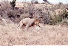 00214_s_19arpabmjf0213 (Guy H. Smith) Tags: africa lion mating