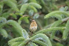 Juvenile Robin (ninahale) Tags: hebrides uist scotland ronay