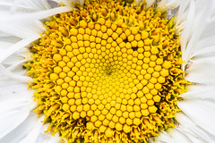 Yellow heart of the flower (donnicky) Tags: closeup fillingtheframe flower flowerhead freshness macro nature nopeople pattern plant publicsec structure summer texture topview wallpaper white yellow