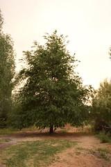 ARBOLES (35) (Elvira Lereu) Tags: paisajes árbol montaña camino naturaleza españa verano cielo landscape mountain road nature spain summer tree sky