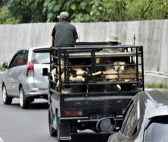 West Java Sheep Traffic 20190331_113949 DSCN4328 (CanadaGood) Tags: color colour tree indonesia java highway asia seasia traffic westjava indonesian asean javanese 2019 canadagood thisdecade animal truck sheep