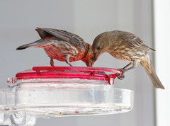 20190720-_BUD7572 Hummingbirds, Not 02 (hirschwrites) Tags: animals birds chesterfield earth midwestus missouri newhouse other stlouis us usa dogs horses