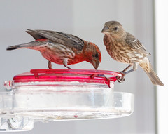 20190720-_BUD7573 Hummingbirds, Not 03 (hirschwrites) Tags: animals birds chesterfield earth midwestus missouri newhouse other stlouis us usa dogs horses
