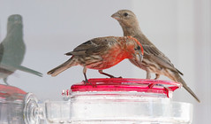 20190720-_BUD7584 Hummingbirds, Not 05 (hirschwrites) Tags: animals birds chesterfield earth midwestus missouri newhouse other stlouis us usa dogs horses