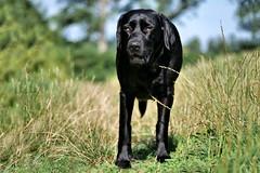 cool down (uwe.kast) Tags: labrador labradorretriever labradorredriver hund haustier dog sommer cool panasonic pet lumix 100300 wiese w