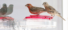 20190720-_BUD7580 Hummingbirds, Not 04 (hirschwrites) Tags: animals birds chesterfield earth midwestus missouri newhouse other stlouis us usa dogs horses