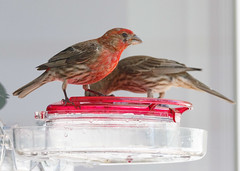 20190720-_BUD7585 Hummingbirds, Not 06 (hirschwrites) Tags: animals birds chesterfield earth midwestus missouri newhouse other stlouis us usa dogs horses