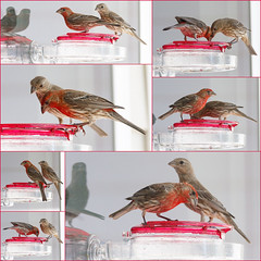 20190720-Finches Hummingbirds, Not 08 (hirschwrites) Tags: animals birds chesterfield collage earth midwestus missouri newhouse other stlouis us usa dogs horses